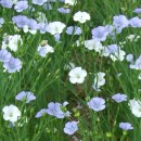 White and blue linseed flowers