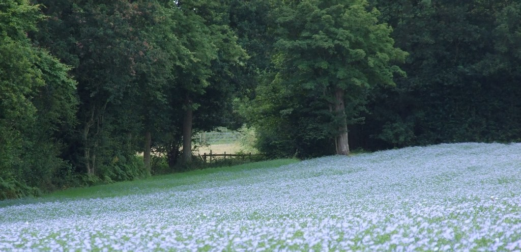 Linseed in full flower