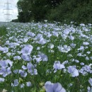 Field of Linseed flowers with pylon 600