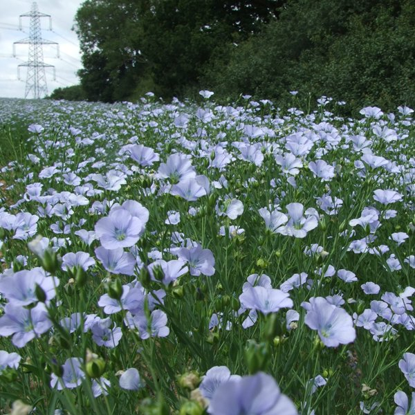 Field of Linseed flowers