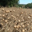Linseed ripe field sqa
