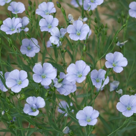 linseed flowers