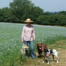 Dogs and field of linseed