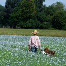 dogs in field of linseed