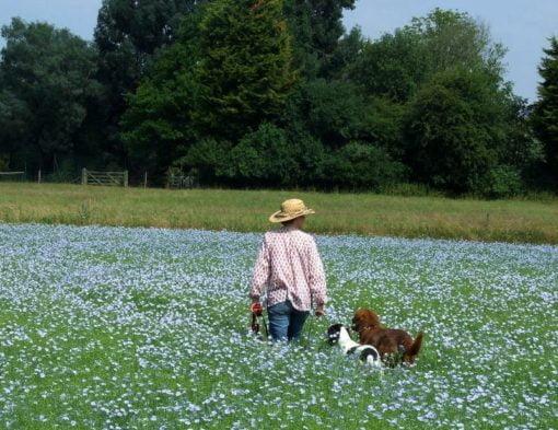 Walking dogs in field of linseed