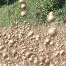 Linseed ready to harvest ripe seed pods 2