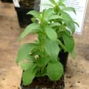Stevia-rebaudiana_young_plant