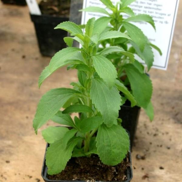 Young Stevia rebaudiana plant