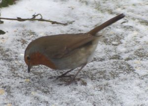 Robin enjoying winter omega-3 booster with linseed flaxseed oil.